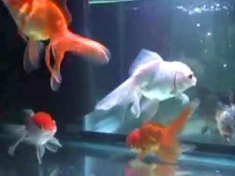 Fish fungus identifying and treating youtube for Fungus in fish tank