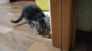 VLOG Родители взяли к себе котенка Мейн-кун