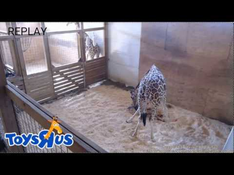 Thumbnail: Birth Replay: April the Giraffe Giving Birth