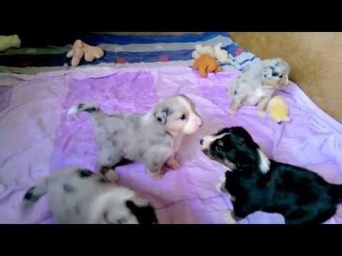 4 kleine Australian Shepherd Welpen geb. am 12.04.2014 (Tag 26)