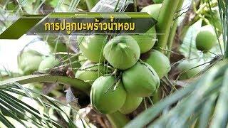 ปลูกมะพร้าวน้ำหอม เสือนอนกิน(ยาวๆ) อาชีพพารวย