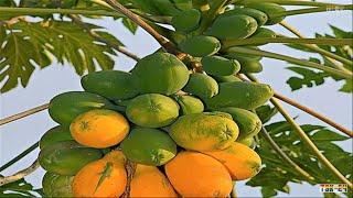 زراعة فاكهة البابايا  لاصحاب الاراضي   بتزرع فلوووووس