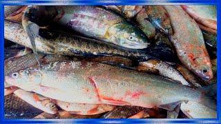 Рыбалка сплавной сетью поздней осенью, Щука,Сиг,Карась, ленок,