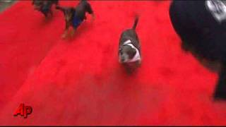 Raw Video: Weiner Dogs Race In Seattle