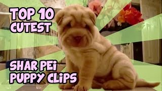 Top 10 Cutest Shar Pei Puppy Clips Of All Time