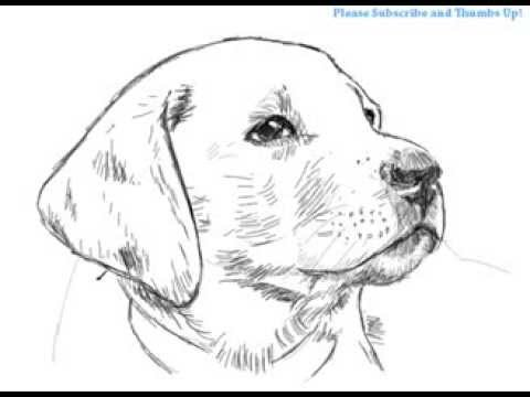 How To Draw A Handsome Labrador Dog Yzarts Youtube