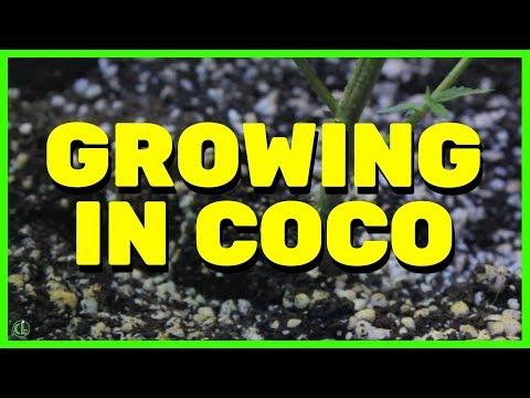 How to Grow Cannabis Plants in Coco Coir