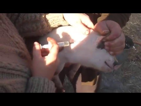 Как делать укол поросенку за ухом