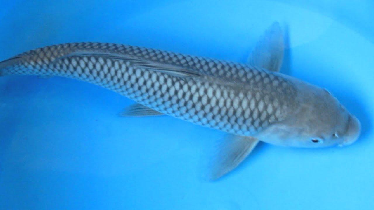 11 12 soragoi koi fish youtube for Keeping koi fish
