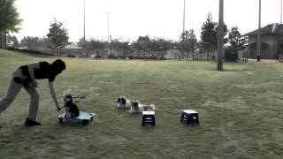 Good Dog Training  Off Leash Morkie and Papillons Distraction Training New