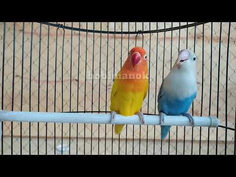 Pancingan/suara Lovebird Fighter Ngetik Ngekek Cepat Bikin Musuh Bunyi