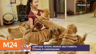 Шарпей попал в список потенциально опасных пород собак - Москва 24