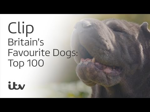 The Crime Fighting Shar Pei | Britain's Favourite Dogs: Top 100 | ITV