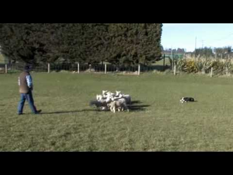 Eve on a small mob of ewes