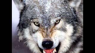 Я одинокий волк