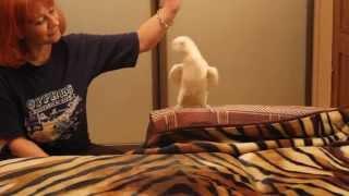 Попугай  танцует -