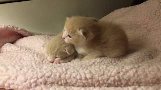 ASMR Fall Asleep with Baby Kittens Crawling, Sleeping, Soft Meowing