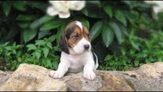 #129 HARRIER    Which Dog Should I Get? Dog Breed Selector