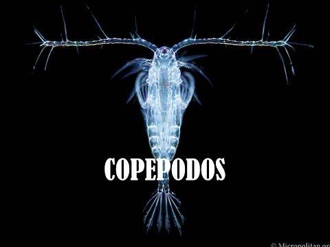Facebook GENTE BETTA MEXICO OFICIAL-Iniciando Cultivo De Copépodos