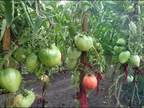 САМЫЕ КРУПНЫЕ ТОМАТЫ ДЛЯ ОТКРЫТОГО ГРУНТА! Ольга Чернова. | праздник | чернова | любимый | крупные | томаты | огород | самые | ольга | сорт | сад