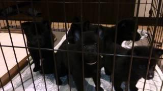 スキッパーキ子犬の生後40日です。 下で横たわっている黒いカタマリは《...