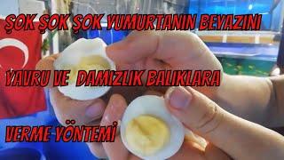 Genç balıkları yumurta beyazı ile büyütme, damızlık yapma yöntemi