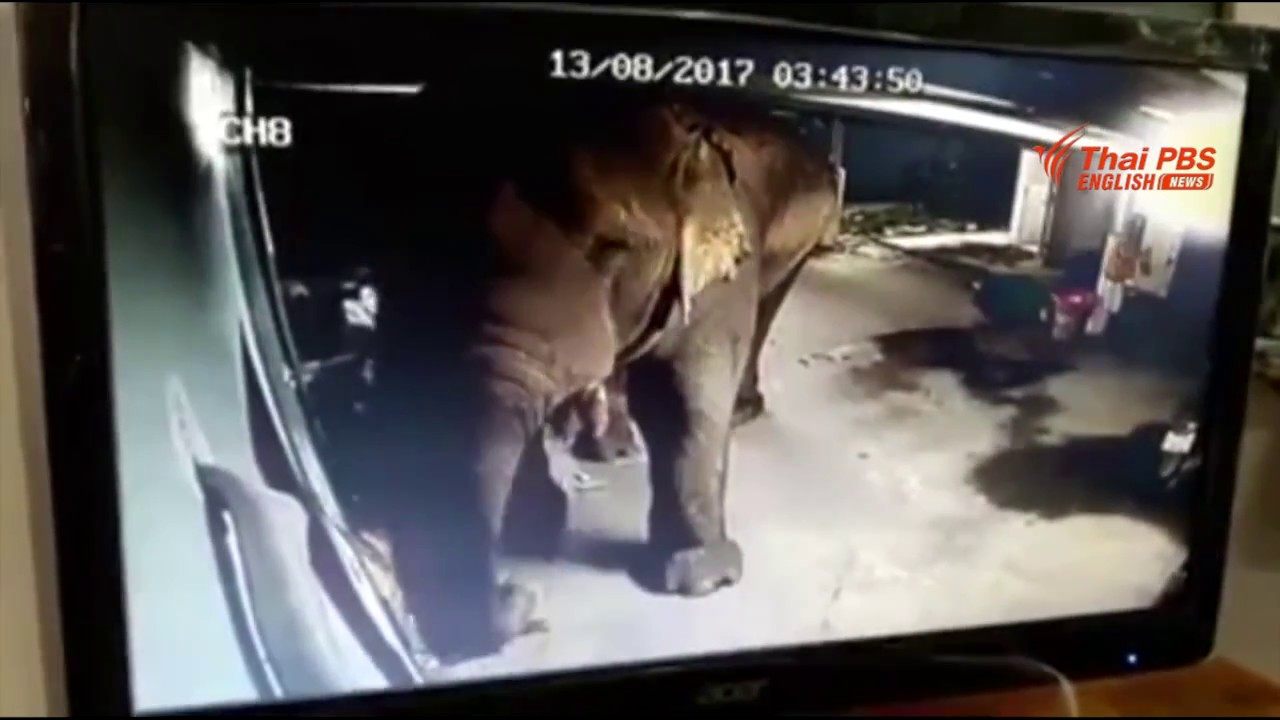 The wild elephant wants to eat durians