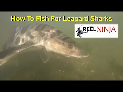 How To Fish For Leopard Sharks From Shore