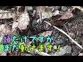 胴体が食べられてもまだ動くミヤマクワガタ / Miyama Stagbeetle WTF