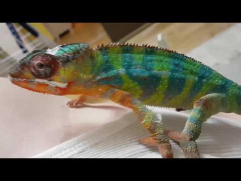 Friendly pet chameleon