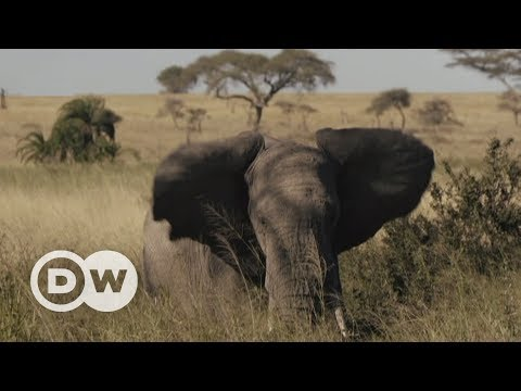 Fighting for space in the Serengeti | DW English