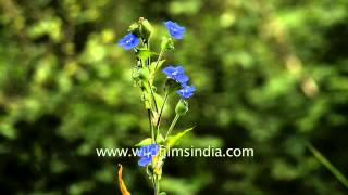 Commelina paludosa: common Himalayan monsoon flower