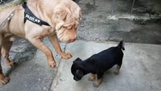 Бой собак - два щенка. Китайский Шарпей.  Здравствуйте шарпея. Домашние питомцы