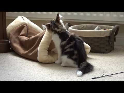 Norwegian Forest Kittens playing/fighting