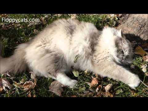Ragdoll Cat Trigg Takes a Short Dirt Bath - ねこ - ラグドール - Floppycats