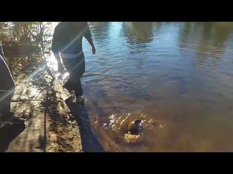 Massive Carp Caught In The  Nepean River