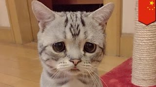 Saddest Cat in the World is Luhu, a Beijing furball of pure sorrow - TomoNews