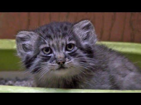 ◆マヌルネコの赤ちゃん  埼玉県こども動物自然公園 2017-6