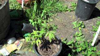 Marijuana Shock - How To Recover A Stressed Plant