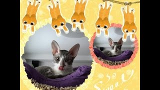 ❤️Как научить кота пить из блюдца?❤️ RusLanaSolo