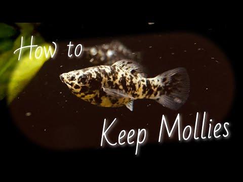 Molly Fish (Species Profile)