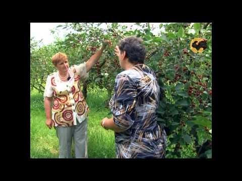 Сад и огород-98 Вишня, черешня