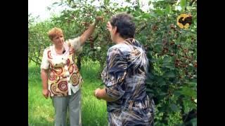 Сад и огород 98 Вишня черешня