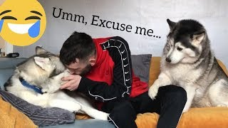 My Funny Husky Gets So Jealous When Being Ignored!!.. [MILLIE IS BACK!!!]