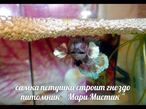 "САМКА РЫБКИ ПЕТУШКА СТРОИТ ГНЕЗДО ! #рыбкапетушокхалфмун#( ПИТОМНИК ""МАРИ МИСТИК"" )"
