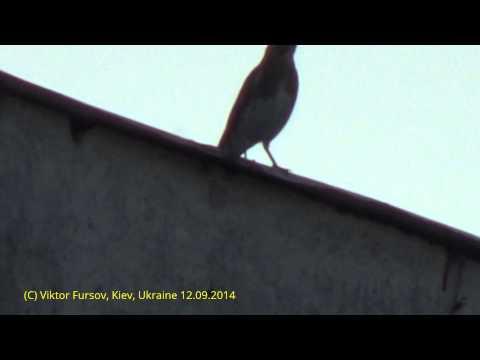 Птицы Украины: Дрозд в Центре Киева, 12.09.2014