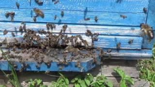 Роение пчёл - снятие роя.