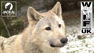Wolf Watch UK welcomes Bosch, the new wolf.