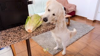 Dog Steals Lettuce | Funny Golden Retriever Puppy Bailey