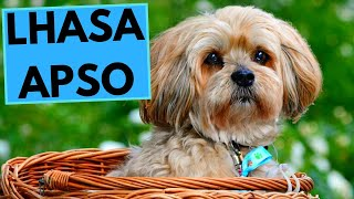 Lhasa Apso Dog Breed  Facts and Information